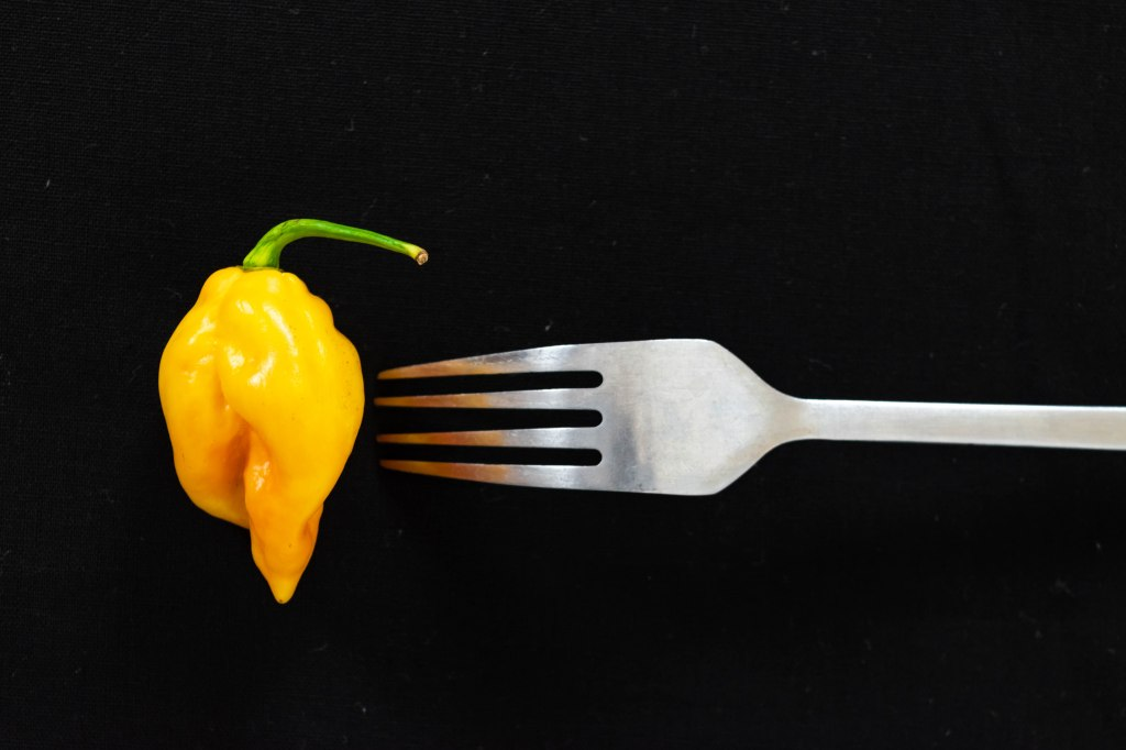 Yellow Scotch Bonnet Peppers Isolated on Black background with stainless metal fork for Nigerian and West African cooking, dark food photography and rustic concept